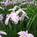 lichtnelke - Sumpfiris ( Iris ensata TOPAS )