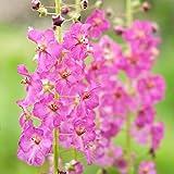 Semi viola di mulino - Verbena phoeniceum