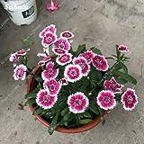 Los claveles raras Semilla Semilla Bonsai Bonsai Dianthus caryophyllus Flores del partido del jardín de flores Material 200 PC / paquete