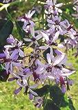 TROPICA - Lilas de Perse (Melia azedarach) - 20 graines- MéditerranéeOrigine: