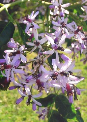TROPICA - Pagodenbaum / Persischer Flieder (Melia azedarach) - 20 Samen