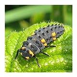 Larves de coccinelle à deux points Coccifly Ⓡ - 80 larves de coccinelles