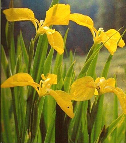 Haus&Garten 4 Pflanzen Iris gelb Schwertlilie, wunderschöne Teichpflanze, ideal auch für feuchtes Teichufer