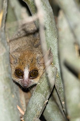 The Poster Corp Joe & Mary Ann McDonald/DanitaDelimont - Brown Mouse Lemur Tree Trunk in Madagascar Photo Print (27,94 x 43,18 cm) -