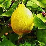 Pinkdose 20pcs / bag Zitronenbaum Bonsai Obst & amp; Gemüse nicht-GMO Balkone & amp; Terrassen Anlage DIY für Haus & amp; Garten