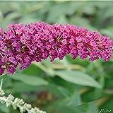 Zwerg-Schmetterlingsflieder BUZZ Velvet - Sommerflieder  Pflanze in dunkel-pink