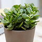 Zooqa Natural | Jade Plant Lucky Plant | Money Plant Or Money Tree |Feng Shui Plant, Decorative Plant | Good Luck Symbols""