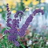 Zwerg-Schmetterlingsflieder Adonis Blue - Sommerflieder (Buddleja) Pflanze in blau, lila halbschattig und winterhart - Flieder-Strauch von Garten Schlüter