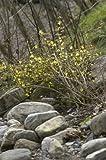 Winter-Jasmin Nudiflorum - 4 kräftige Pflanzen, jeweils im 5lt. Container