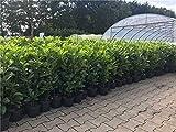 Kirschlorbeer Heckenpflanzen immergrün Sichtschutz Prunus lauroc.'Novita' im Topf gewachsen 60-80cm (20 Stück)