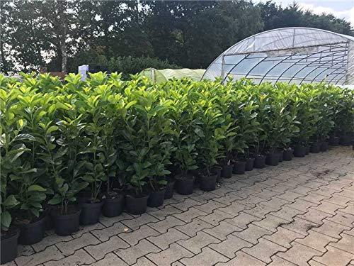 Kirschlorbeer Heckenpflanzen immergrün Sichtschutz Prunus lauroc.'Novita' im Topf gewachsen 60-80cm (10 Stück) - Kirschlorbeer Hecke
