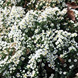 Aster 'Snow Flurry' - Aster pansus Snow Flurry' - Beetstaude