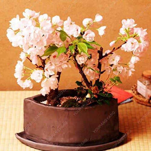 20 pcs / sac Graines Sakura japonais, Bonsai Fleur de cerisier Livraison gratuite ornement-Plante vivace Fleurs Jardin