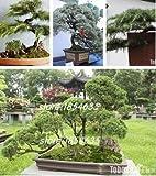 100% wahre Heilige der japanischen Zeder 100 Stück Semillas Bonsai Samen