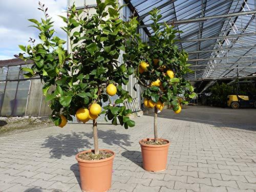 Zitrus XL Zitronenbaum Zitrone Citrus limon 130-160 cm Zitruspflanze
