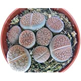 Lithops - Living Stone - several plants in 8,5 cm pot