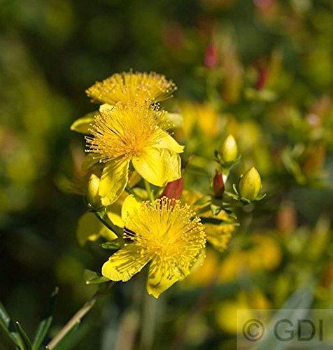 Großblumiges Johanniskraut Buttercup 40-50cm - Hypericum