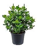 Balsamapfel Princess beliebte Zimmerpflanze für hellen Standort Clusia rosea 1 Pflanze 70-90 cm im 35 cm Topf von Redwood