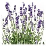 Blumen-Senf 12 Pflanzen Lavandula angustifolia Staude Lavendel