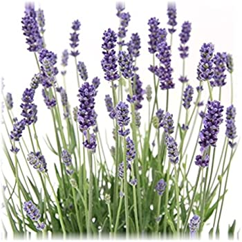 lavendel lavandula angustifolia 39 edelweiss 39 weiss. Black Bedroom Furniture Sets. Home Design Ideas