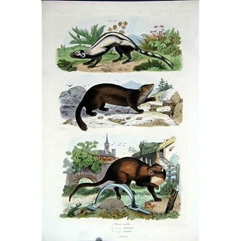 Impresión Antigua de la Historia Natural 1839 del H/C *333 Marte Del Barón, Fritadas