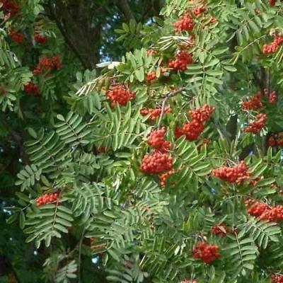 Europäische Eberesche Seeds (Sorbus aucuparia) 50 + Seeds