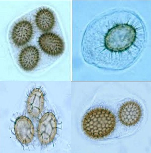Spore di tartufo Scorzone (tuber aestivum)
