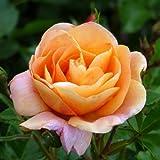 ROSE FOR ELAINE-Superb Personalised Gift For Birthdays, Plant & Flower Gifts For Mum,Mom,Women,Her,Grandma