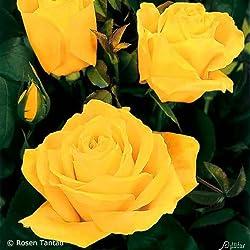 Edelrose Duftgold in Gelb - Duftrose robust - Rose stark duftend - Pflanze mit intensivem Duft im 5 Liter Container von Garten Schlüter - Pflanzen in Top Qualität