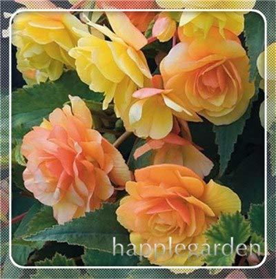 pinkdose 20 pz begonia pianta bonsai fiore pianta fai da te decorazione del giardino begonie bonsai in vaso facile da coltivare albero nana piante da appartamento: 13