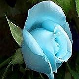 Azalea Gardens Rare Rose Flower Live Plant ' Sky Blue ' Rose Flower Plant (1 Healthy Live Plant)