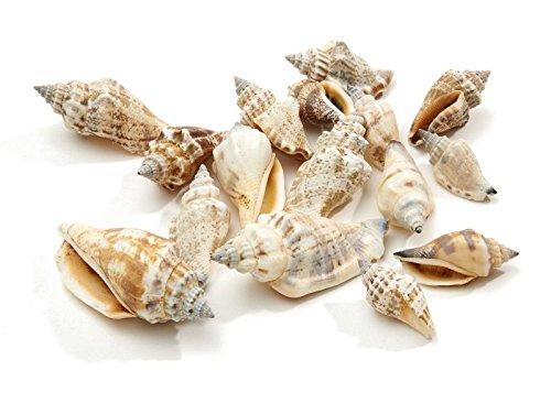 Muschel Strombus Urceus 1kg ca. 4 cm Muscheldeko