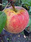Apfelbaum Topaz LH 160-180 cm, Äpfel rot, Halbstamm, mittelstark wachsend, im Topf, Obstbaum winterhart, Malus domestica
