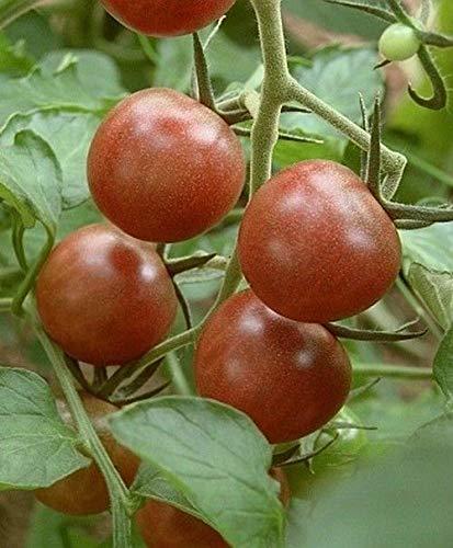 Preisvergleich Produktbild AGROBITS 30 Black Cherry Russian Tomatensamen. Erbstück *** am selben Tag Versand
