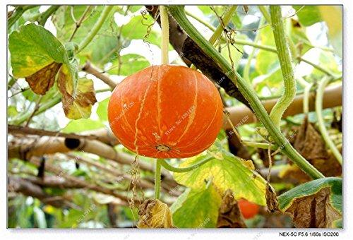 Graines de citrouille rares Cucurbita fil d'or de citrouille non-OGM légumes jardin Bonsai plantes ornementales semences Escalade 10 Pcs / sac 11