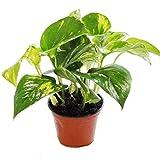 Efeutute - Scindapsus - Epipremnum - 12cm Topf - Zimmerpflanze