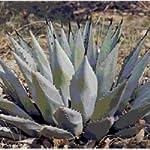 Agave neomexicana seeds