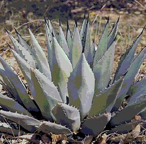 Agave neomexicana - 20 Graines