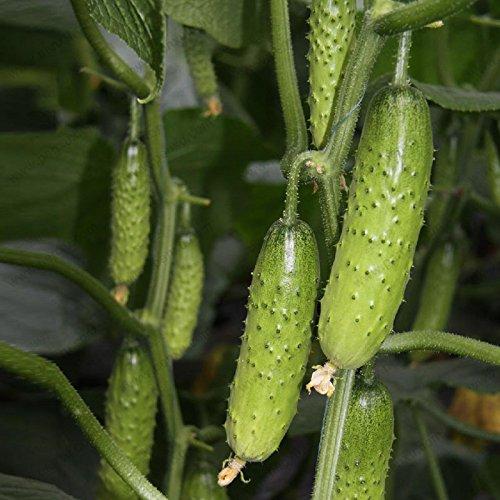 1 Profi-Packung (50 Stück / Los) Gurkensamen Balkon Topf Obst und Gemüsesamen Cuke Obst Gurke-Samen