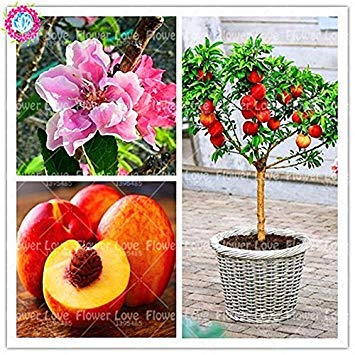 2ST Echt süßen Pfirsich Samen Bonsai-Obstbaum-Samen Zwerg Bonanza Pfirsiche Gesunde Bio-Fruchtsamen für Hausgarten-Anlagen