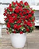 Pinkdose 100pcs Mandevilla sanderi Fiore Dipladenia sanderi Climbing fiore bonsai pianta perenne piante bonsai pottet giardino di casa: mescolare