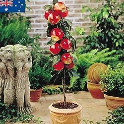 Portal Cool Apfelbaum-Samen 30 Samen Obstbaum Miniatur-Bonsai Zwerg Seed Sommer-Frucht