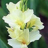 Portal Cool 10 Samen: Canna Lily Tropical White Zwergpflanze 10, 50, 100, 500 oder 1000 Samen