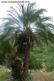 Kashmir Bergdattelpalme 10 Samen Winterhart bis - 10/15 Crad -Phoenix loureiroi var. humilis-