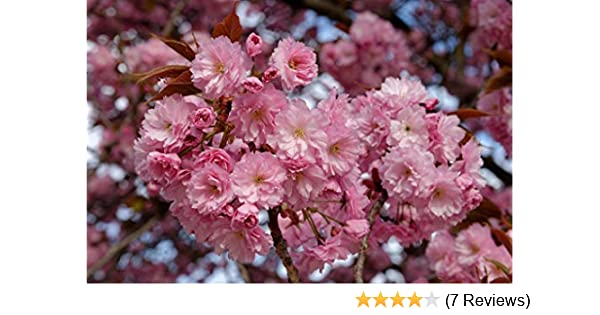 Prunus Royal Burgundy Japanese Flowering Cherry Tree 5FT Supplied BR