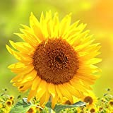 """Outdoor-Kissen """"Sonnenblume"""" wasserabweisend - 45 x 45 cm inkl Füllung"""
