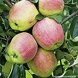 Apfel Finkenwerder Herbstprinz - Malus - Winterhart - Fruchtreife Oktober bis November - Liefergröße circa 120cm als wurzelnackte Pflanze
