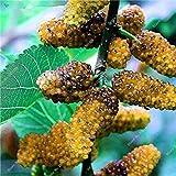 Fash Lady 4: Bunter Blackberry-Baum-Himbeersamen-geschichtete Frucht-Samen-Maulbeere-Schwarz-Beeren-Bonsais nicht-GMO organische Anlage 500 PC/Beutel 4