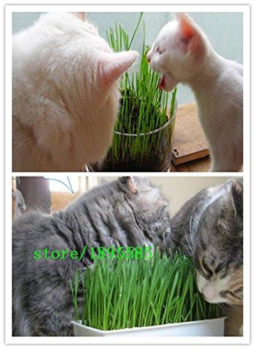 1 Paquet professionnel 300 Graines Particules Feuillage Wheat Grass Cat Herbe de Graines de blé (Les chats aiment manger de l'herbe