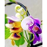 ¡Nueva llegada! Grandes promociones 50pcs rara Silla hermosa flor Caracol verde semilla de enredadera fácil de cultivar en el